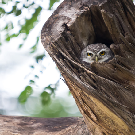 Asian barred owlet, Canon EOS 100D, Sigma 50-500mm f/4-6.3 APO HSM EX