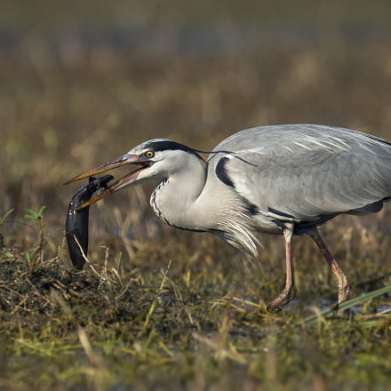 GREY HERON WITH CATCH, Canon EOS-1D X, Canon EF 800mm f/5.6L IS