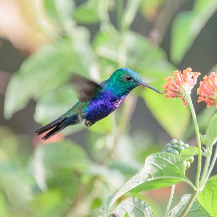 Violet-bellied Hummingbird, Canon EOS 5DS, Sigma 150-600mm f/5-6.3 DG OS HSM | C