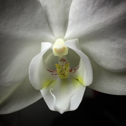 Orchid, Apple iPhone 6, iPhone 6 back camera 4.15mm f/2.2
