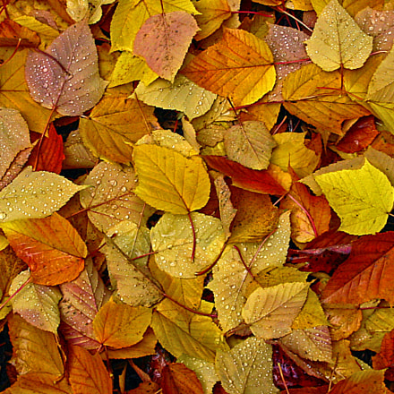 Fall Leaves, Canon POWERSHOT A40
