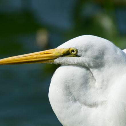 White Egret In The, Sony SLT-A57, Tamron 200-400mm F5.6 LD