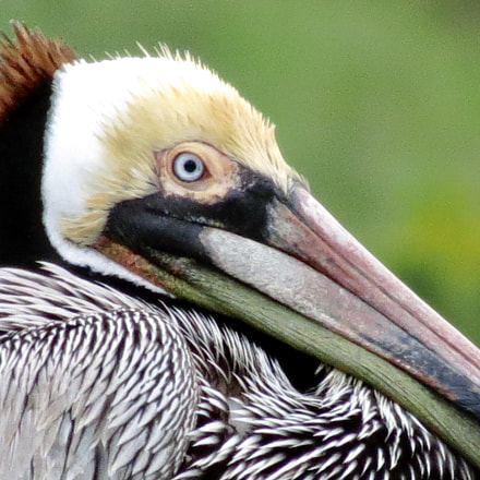 Brown Pelican, Mill Valley, Canon POWERSHOT SX40 HS