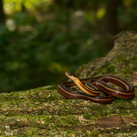 Butlers Garter Snake, Canon EOS-1D MARK IV, Canon EF 24-105mm f/4L IS