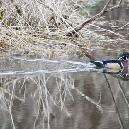 Wood Duck Swimming, Canon EOS-1D MARK III, Canon EF 600mm f/4L IS
