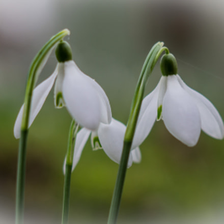 Joe Bailey Photography Snowdrops, Sony SLT-A58, Sony DT 50mm F1.8 SAM (SAL50F18)