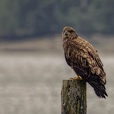 Bald Eagle on Pole, Canon EOS REBEL T3, Canon EF 100-400mm f/4.5-5.6L IS