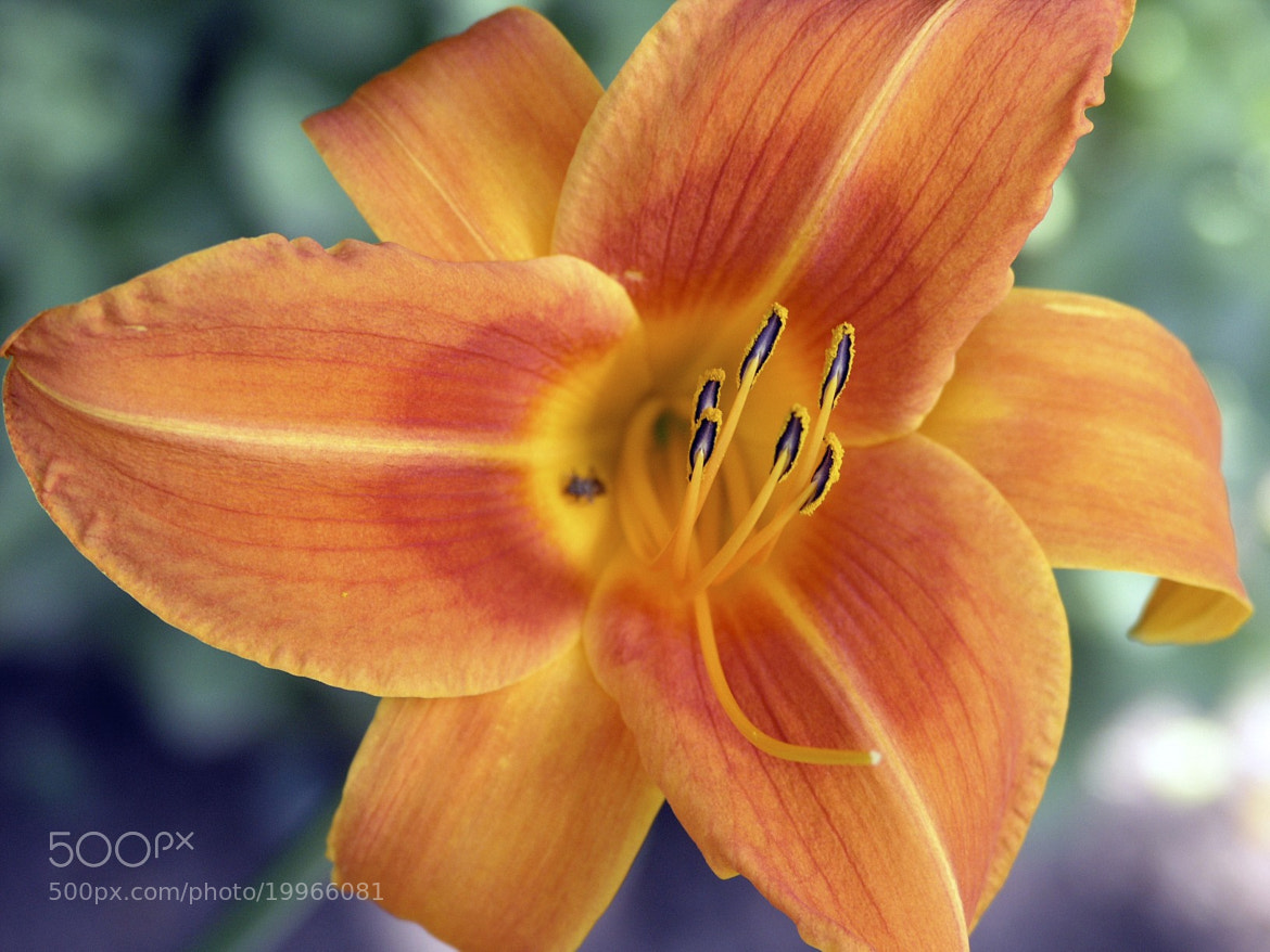Photograph Garden Flower by David  on 500px