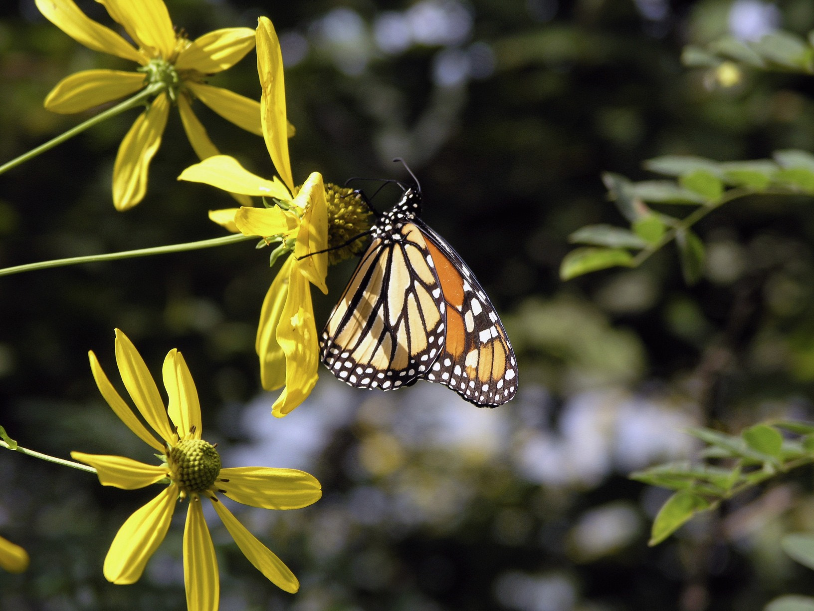 Photograph Monarch by David  on 500px