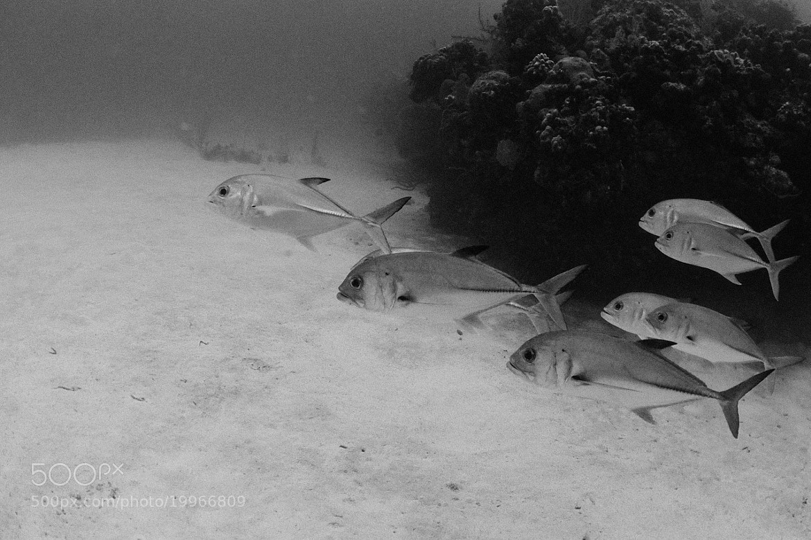 Photograph Horse Eyed Jacks by Lawrence Cheong on 500px