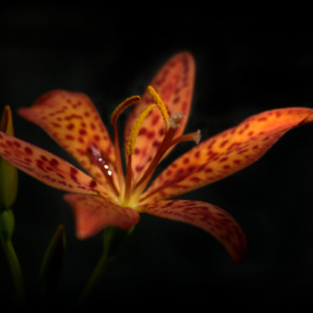 Blackberry Lily, Nikon D3000, Sigma 28-90mm F3.5-5.6 Macro