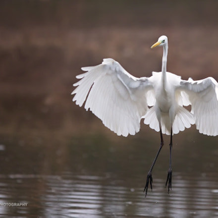 Landing, Canon EOS-1D X, Canon EF 300mm f/2.8L IS