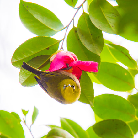 The Japanese White Eye-Zosterops, Sony ILCE-7S, Tamron SP 150-600mm F5-6.3 Di USD
