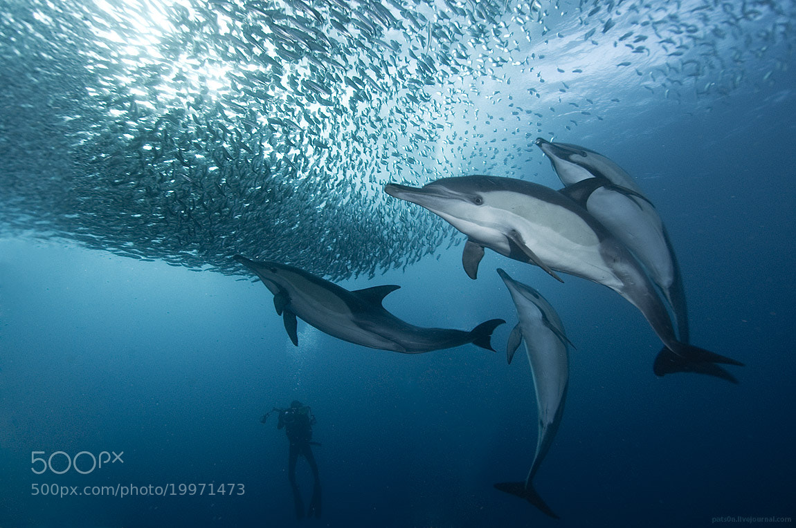 Photograph baitball symphony by Alexander Safonov on 500px