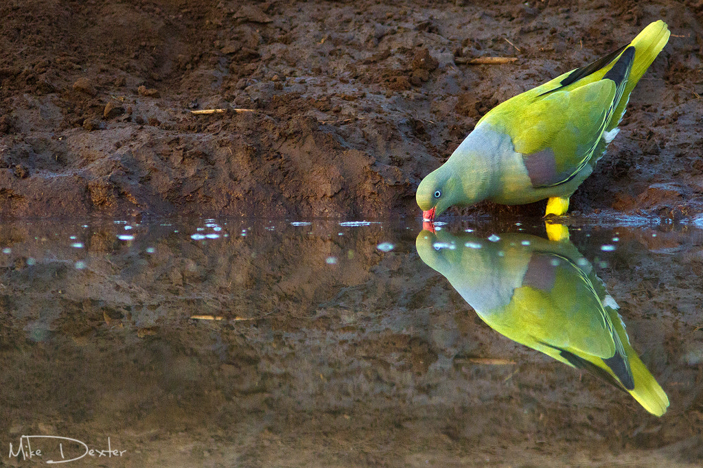 Photograph Green pigeon by Mike Dexter on 500px