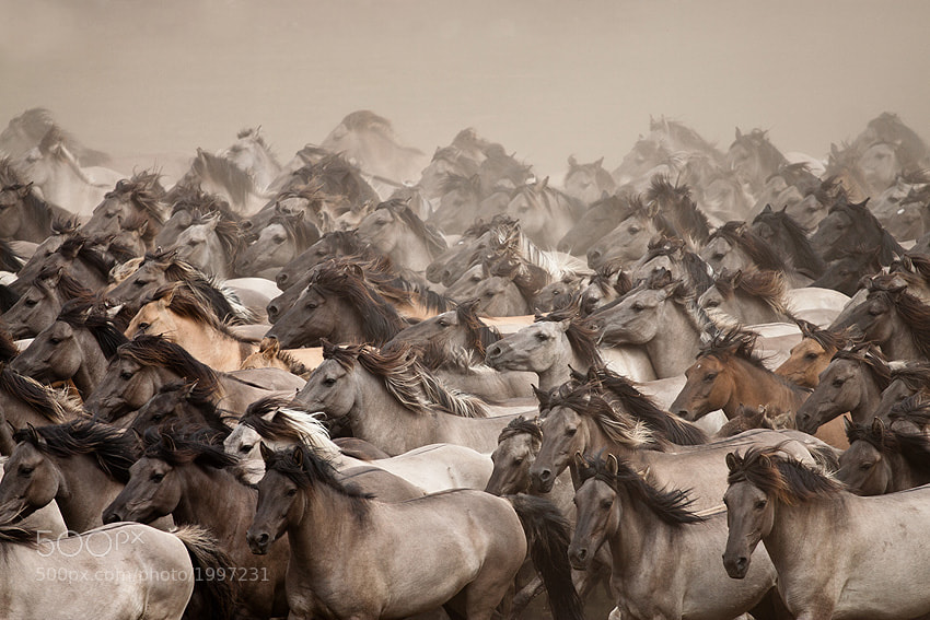 Photograph Wild Horses by Stefanie Lategahn on 500px