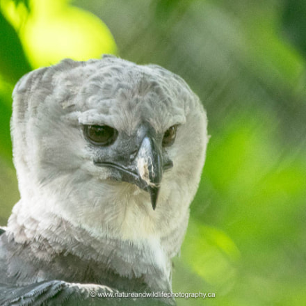 Harpy Eagle, Canon EOS 5DS, Sigma 150-600mm f/5-6.3 DG OS HSM | C