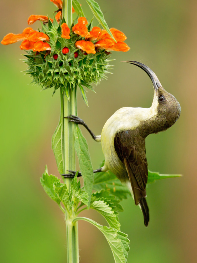 Loten's Sunbird by nature photographer Milan Zygmunt