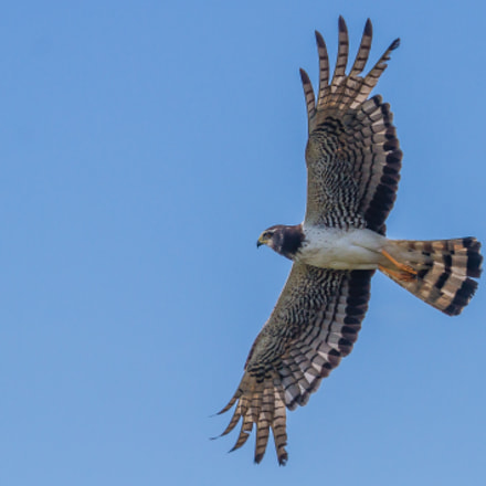 Long-winged Harrier, Canon EOS 7D, Canon EF 100-400mm f/4.5-5.6L IS