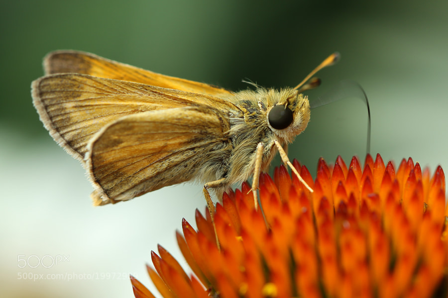 Photograph Skipper Is Back by Kenneth  Maurer on 500px