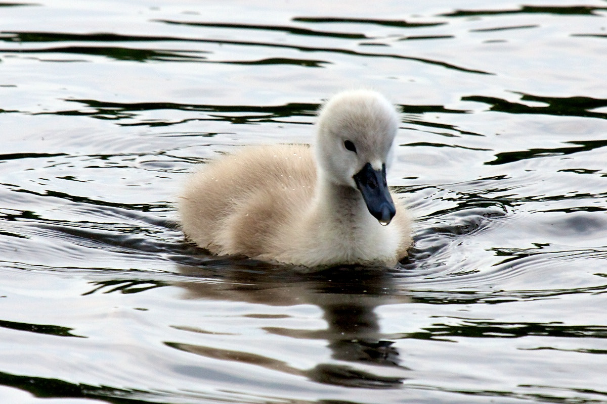 Photograph Swan baby by Frank Stephan on 500px