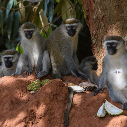 Vervet monkeys, Nikon D500, AF-S VR Zoom-Nikkor 200-400mm f/4G IF-ED