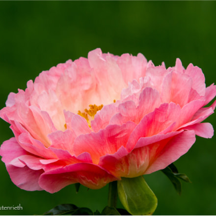 Peony, Canon EOS 7D, Canon EF 70-200mm f/2.8L IS