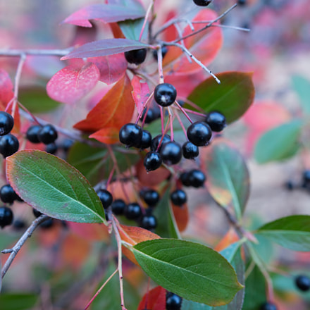 unknown berries, Canon EOS 6D, Sigma 24-35mm f/2 DG HSM | A