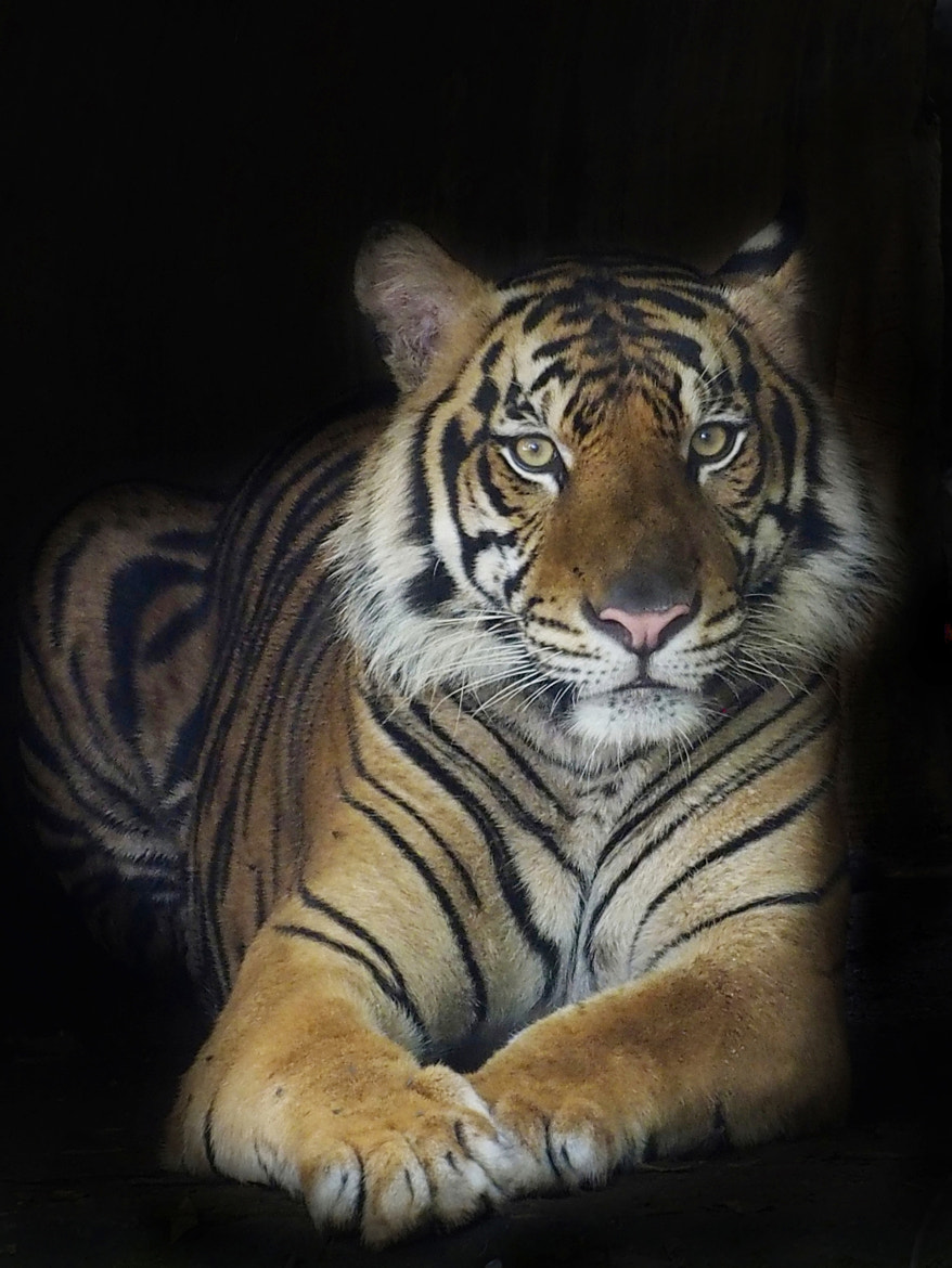 Photograph the posing tiger by Fajar Andriyanto on 500px