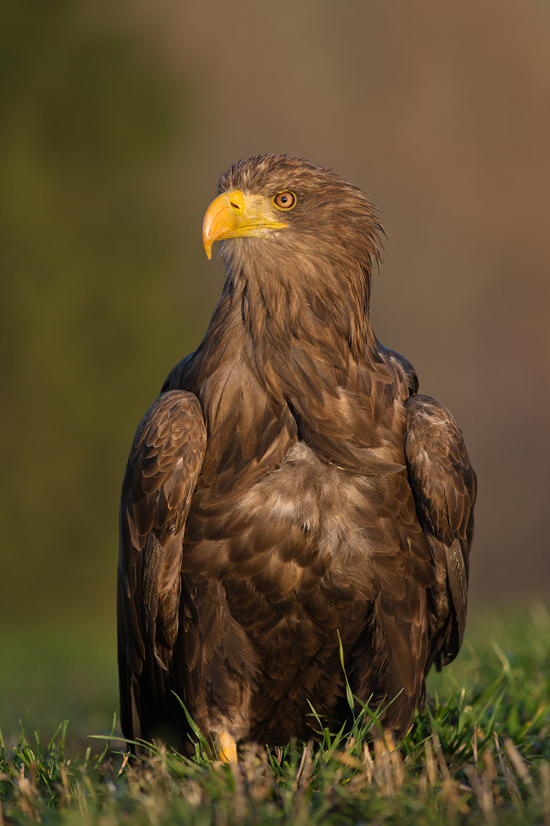 Photograph  Sea Eagle by Milan Zygmunt on 500px