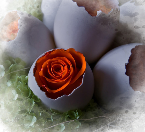 Photograph Rose by Cor Pijpers on 500px