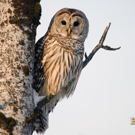 Barred Owl, Canon EOS-1D MARK II N, Canon EF100-400mm f/4.5-5.6L IS USM