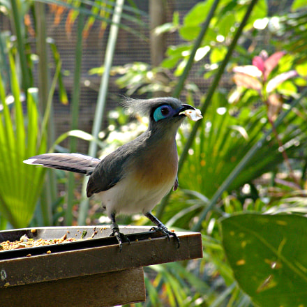Crested Coua, Sony DSC-F828