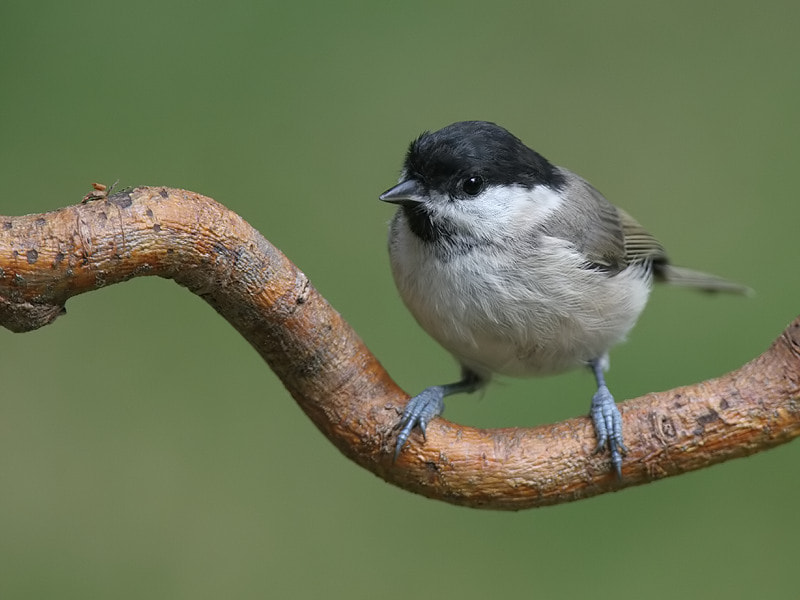Photograph Marsh Tit by Aat Bender on 500px