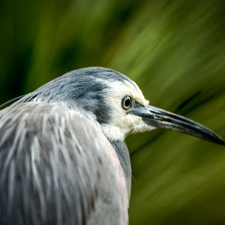 Heron, Canon EOS-1D X, Canon EF 28-300mm f/3.5-5.6L IS