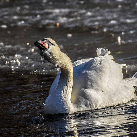 Swan in icy water, Nikon D7200, Sigma 150-600mm F5-6.3 DG OS HSM | S