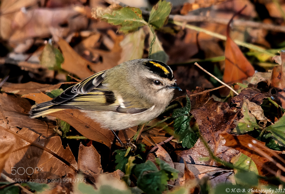 Photograph Yellow Crowned Kinglet by Harold Begun on 500px