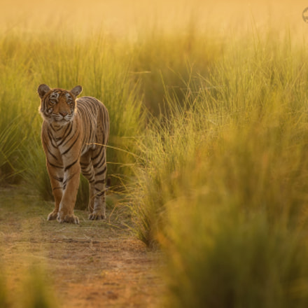 Tigress known as T-83, Canon EOS-1D X, Canon EF 300mm f/2.8L IS II USM