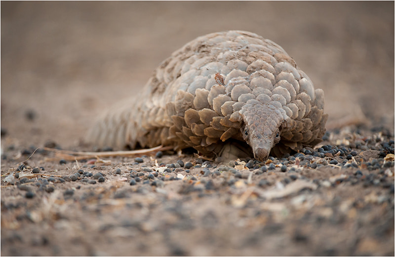 Photograph Pangolin by Valerie BLANCA on 500px
