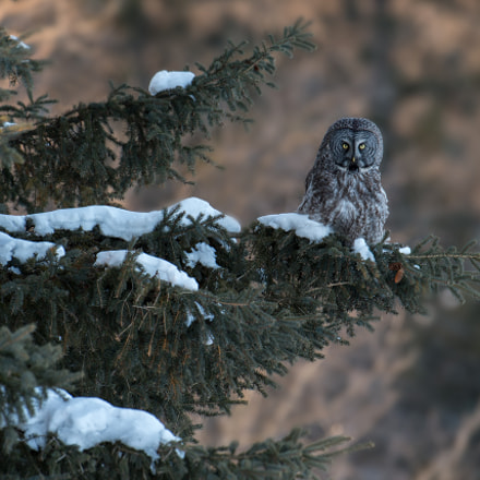 Great Gray owl, Nikon D4, AF-S Nikkor 500mm f/4D IF-ED II