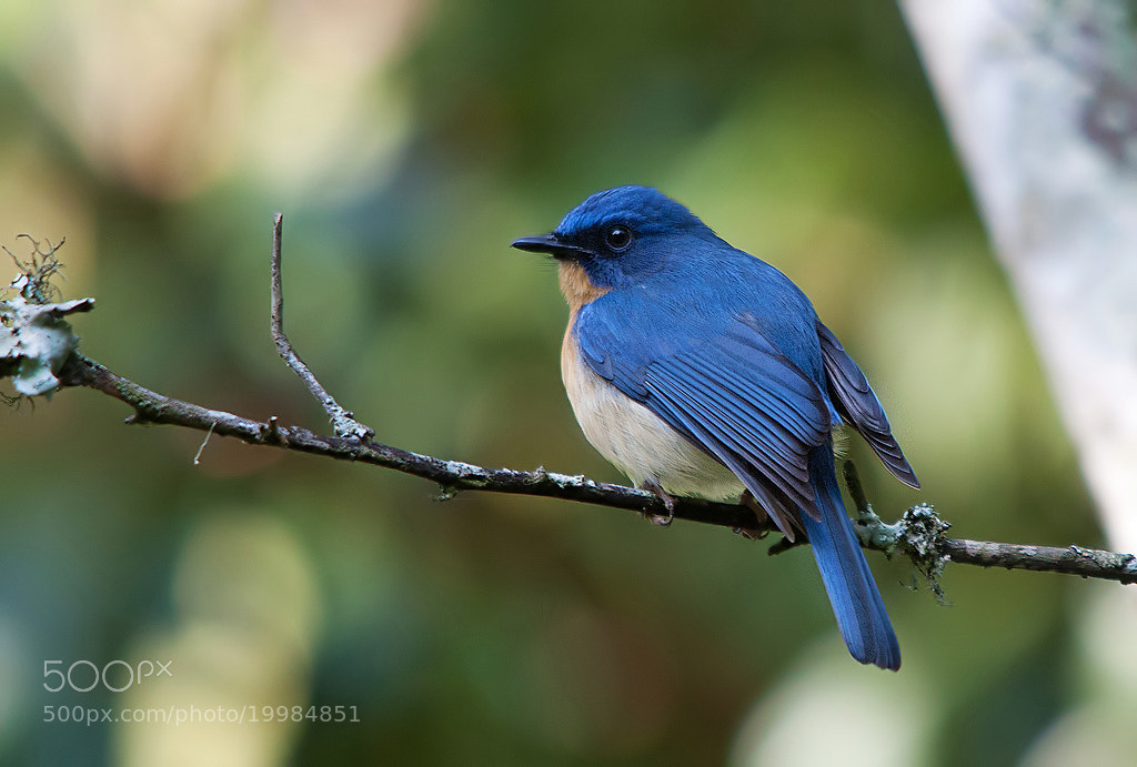 Photograph Tickell's Blue Flycatcher by Girish Prahalad on 500px