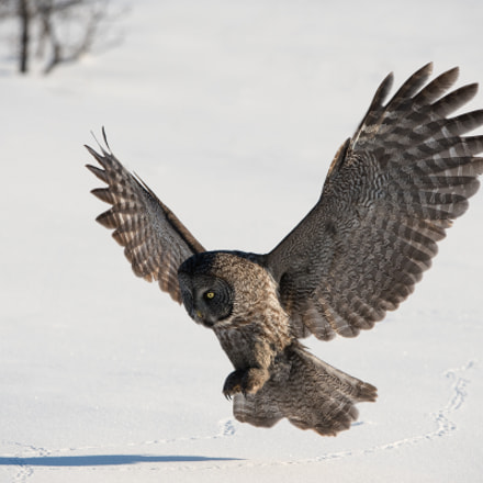 Great Gray Owl, Nikon D4, AF-S VR Zoom-Nikkor 200-400mm f/4G IF-ED