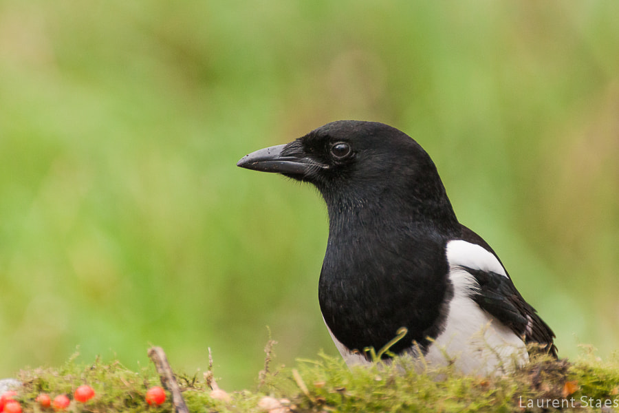Photograph Magpie by Laurent Staes on 500px
