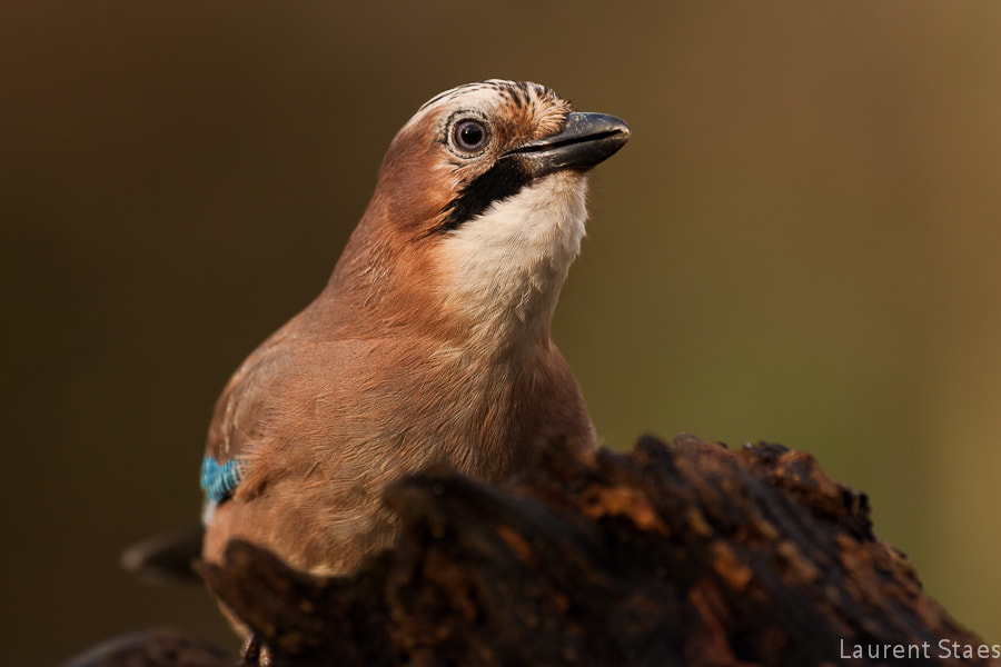 Photograph Jay by Laurent Staes on 500px