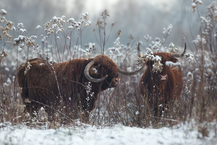 Photograph Cow in the snow 7 by Stéphane ABCDEF on 500px