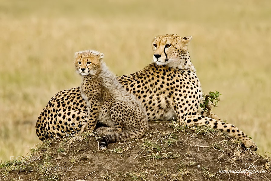 This is an image of a young cheetah and it's mom in the Masai Mara.  We watched them for sometime as they interacted with each other .  There is always a lesson to be learned.