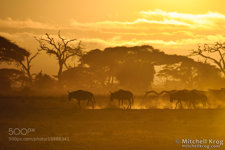 Photograph Wildebeest at Dawn - Amboseli, Kenya by Mitchell Krog on 500px