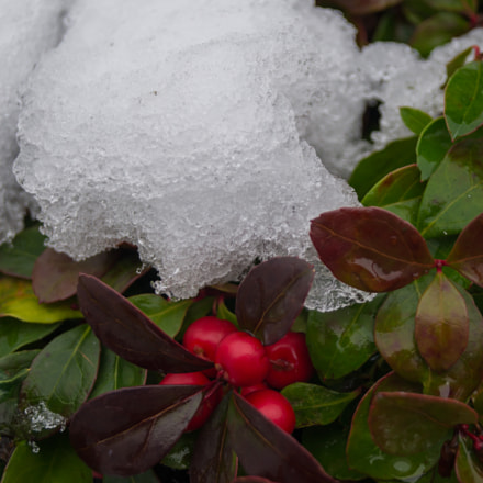 Gaultheria in snow, Sony SLT-A37, DT 18-55mm F3.5-5.6 SAM