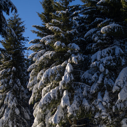 pine trees covered in, Sony SLT-A37, DT 18-55mm F3.5-5.6 SAM