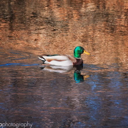 Swimming Duck, Canon EOS 70D, Sigma 18-250mm f/3.5-6.3 DC OS HSM